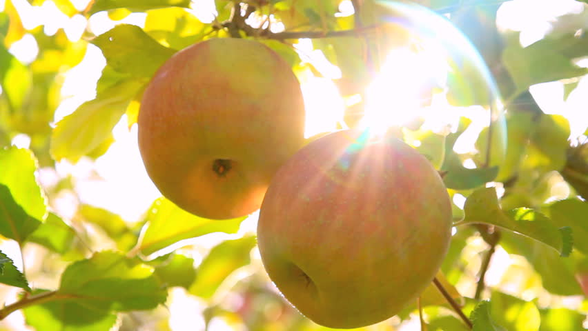 The sun shines through the apple tree.