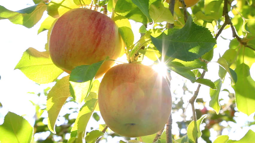 Hand picking an apple from the tree. The sun shines through the apple tree.