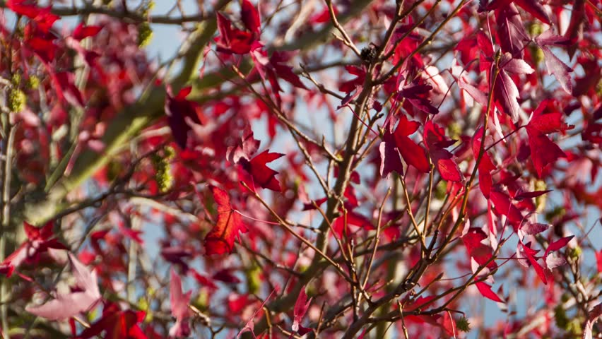 Red leaves of a sweetgum (liquidambar) in autumn - sequence of static shots in fade - full HD - 1080p