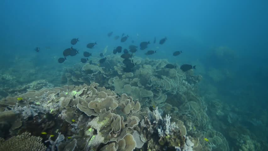 Header of Acanthurus grammoptilus