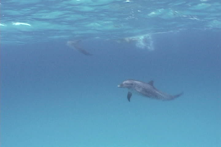 Atrantic spotted dolphin - SD stock footage clip