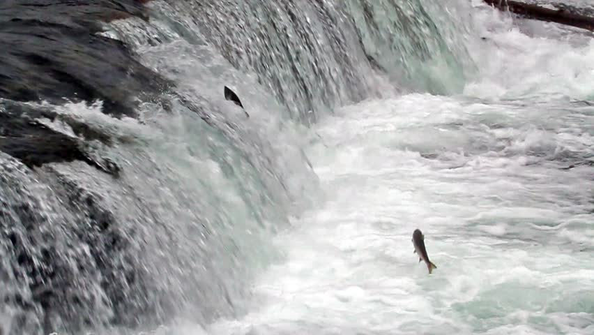 Salmon Jumping up the Brooks Falls in Alaska in Slow Motion