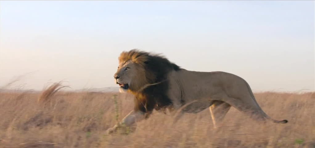 lion in the wild.