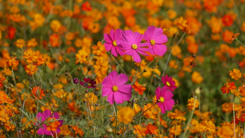 Beautiful flowers in the meadow cosmos