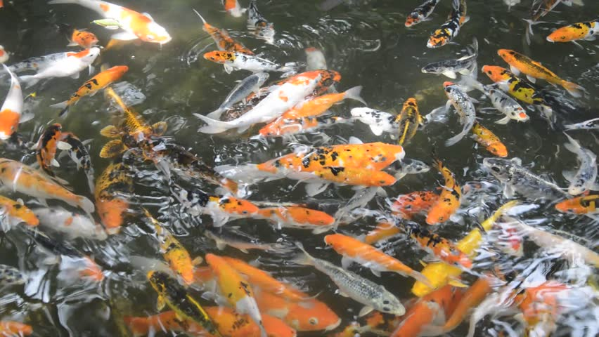 Koi fish stock footage video 5354549 shutterstock for Koi fish to pond ratio