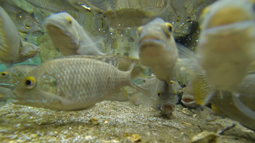 Very curious feeding frenzy fish swim and eat underwater for Feeding frenzy fish