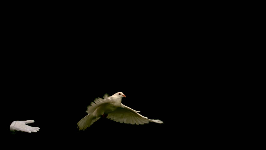 Hands freeing a white dove of peace on black background in slow motion