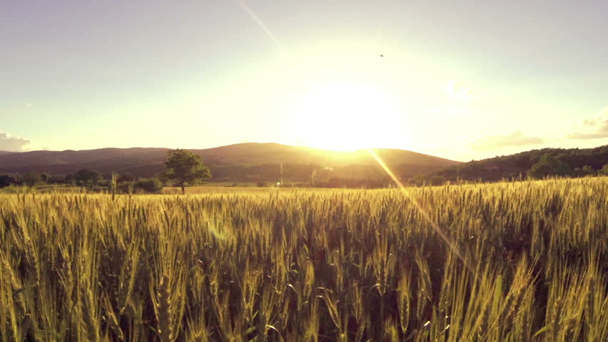 AERIAL: Wheat field at sunset