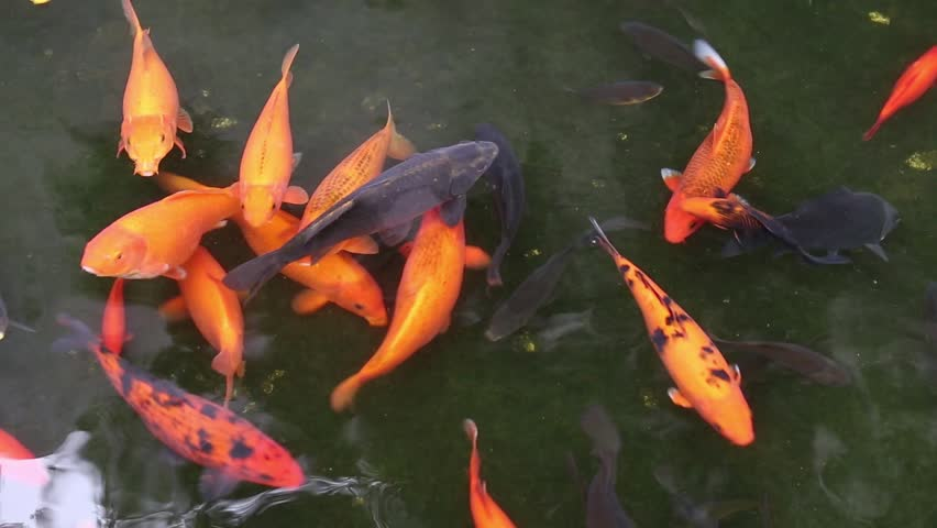 Brocaded carp in a pond stock footage video 5456204 for Koi fish to pond ratio