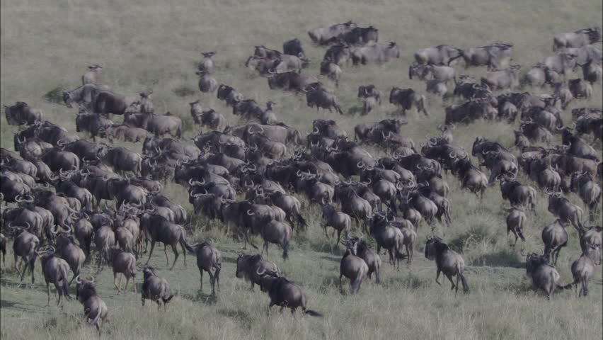 Zebra Wildebeest Herd Migration. A skying look over a large herd of wildebeest. The shot wonderfully captures the herd migrating through the savannas of Africa. Zebras also graze the pasture. - HD stock video clip