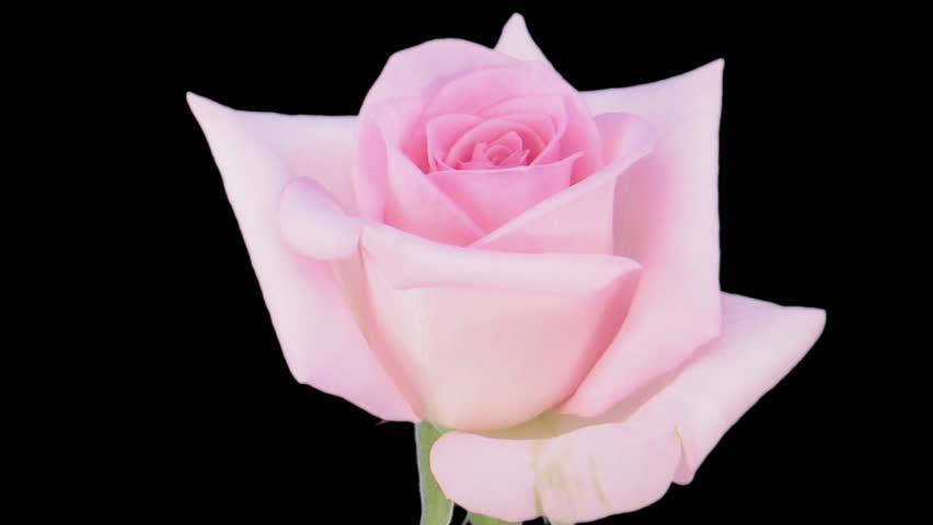 """Time-lapse of opening pink """"Sweet Akito"""" rose 1c in PNG+ format with alpha transparency channel isolated on black background."""