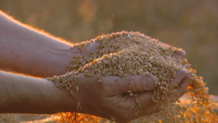 stock harvest Man hands with wheat
