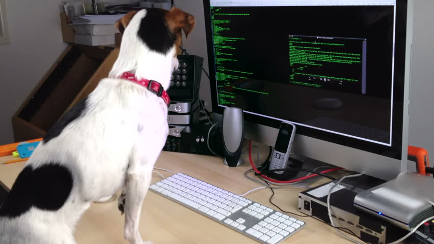 A Jack Russell dog transfixed by the scrolling code on a computer.