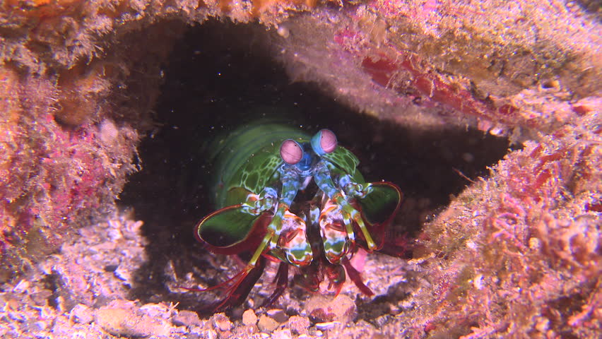 Close up of Peacock Mantis Shrimp in a rock cave