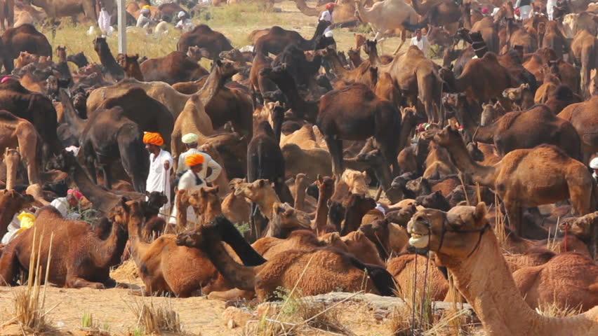 PUSHKAR, INDIA - NOVEMBER 21, 2012: Camels during Pushkar Camel Fair - HD stock video clip