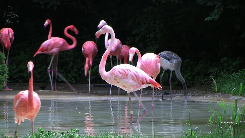 Flamingos Rushing Out of Water