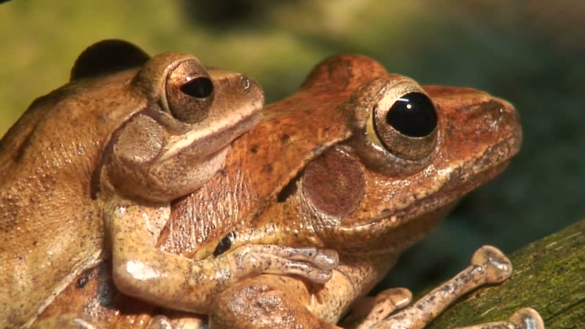 Transport of two tropical frogs, close-up  - HD stock video clip