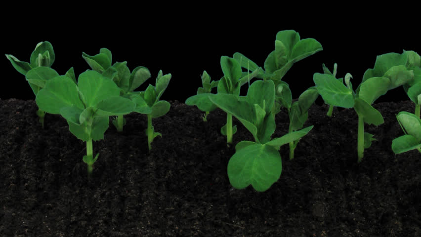 Time-lapse of growing pea vegetables 1a1 in PNG+ format with alpha transparency channel, isolated on black background.