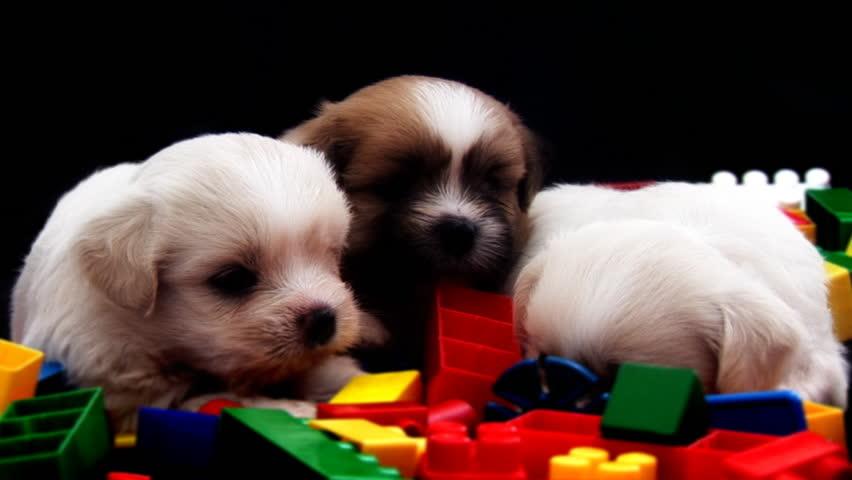 3 Cute Fluffy Puppies - HD stock video clip