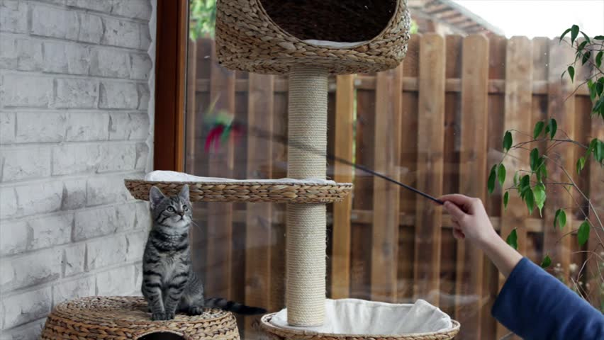 10 weeks old kitten playing with a toy - SD stock footage clip