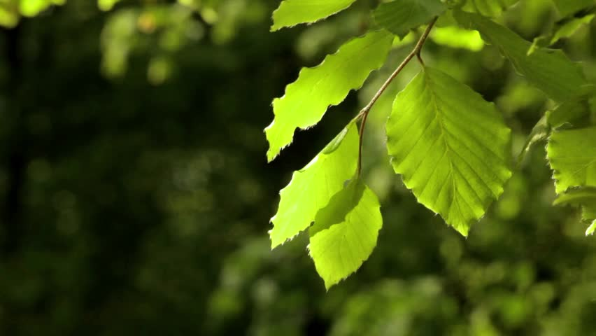 Backlit Leaves In Gentle Motion With Dark Green Blurred ...