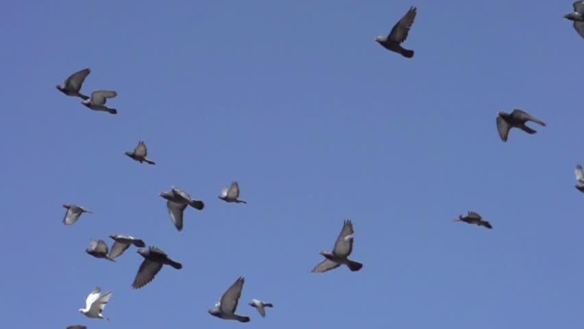 Raven Flock Birds Flock of Birds Flying Left