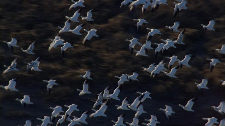 description aerial flying birds - photo #2