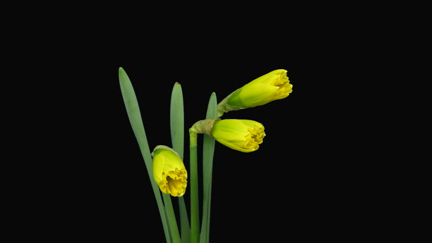 Time-lapse of yellow narcissus flowers opening alpha matte 1a
