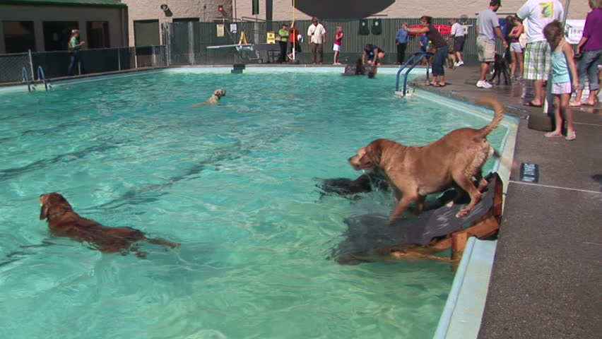 vancouver wa september 26 local dogs go for a swim in the doggie dive fundraising event at