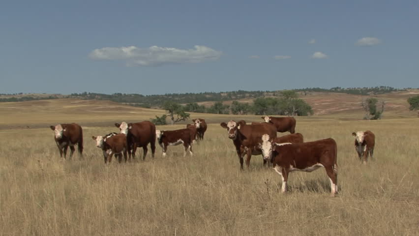 Land Use Western Region Summer Cattle Cows Range Ranchland Hereford Great Plains