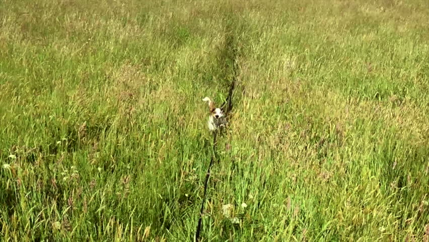 Little Jack Russell Parsons at full speed airborne in long grass in super slow motion