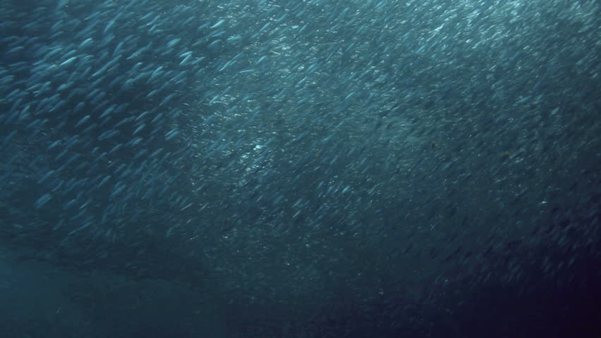 Huge shoal of sardines swimming underwater in Moalboal, Philippines