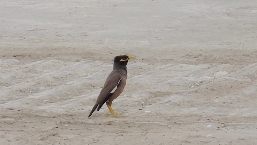 Mynah bird sings twice and then goes out of the frame