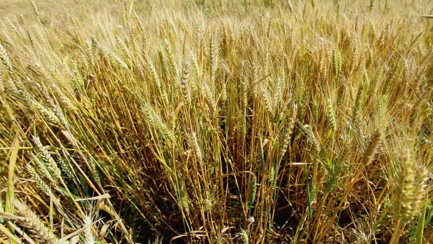 HD 1080 steadicam: wheat fields at summertime; plants waving on slow wind;