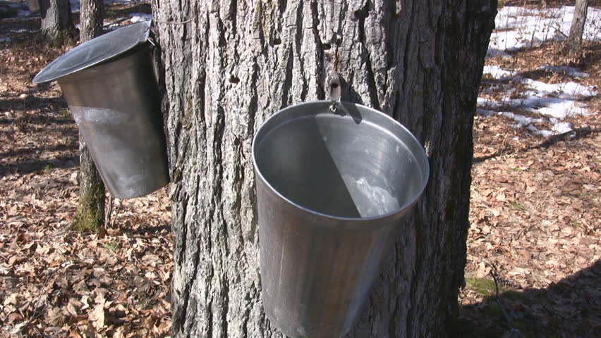 Maple Tree Tapped To Harvest Sap For Maple Syrup Dripping Into A Bucket - HD stock video clip