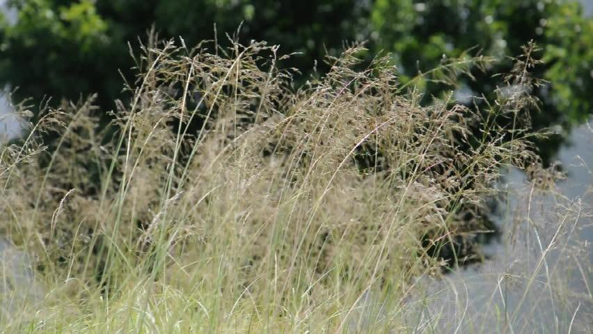 Ornamental Grasses Kenya : Ornamental grasses swaying in a breeze hd stock clip