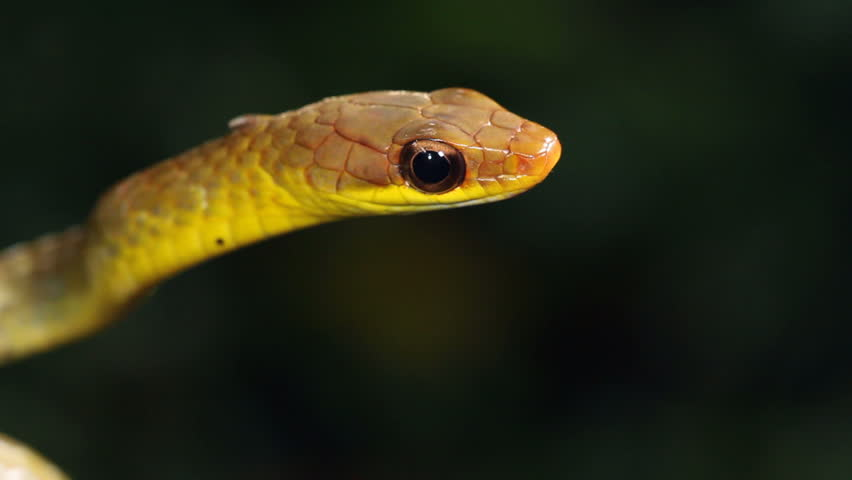 Olive whipsnake (Chironius fuscus) In the Ecuadorian Amazon, protruding its tongue. - HD stock video clip