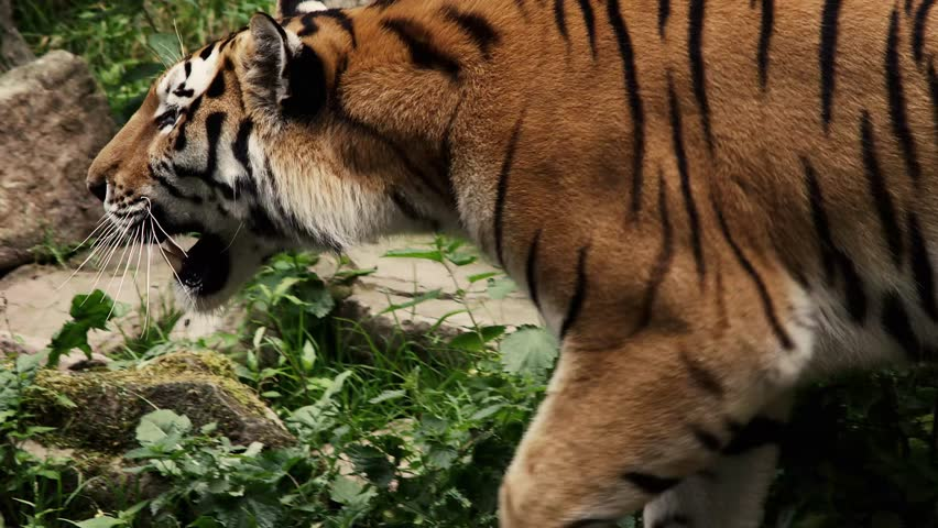 Siberian Tiger in slow motion