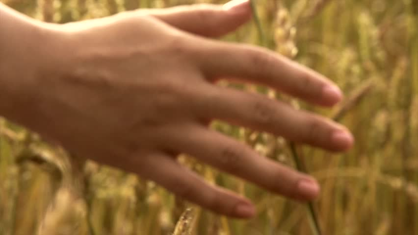 Woman's hand running through wheat field. Girl's hand touching wheat ears closeup.Harvest concept. Harvesting. Slow motion video footage 240 fps. Full HD 1080