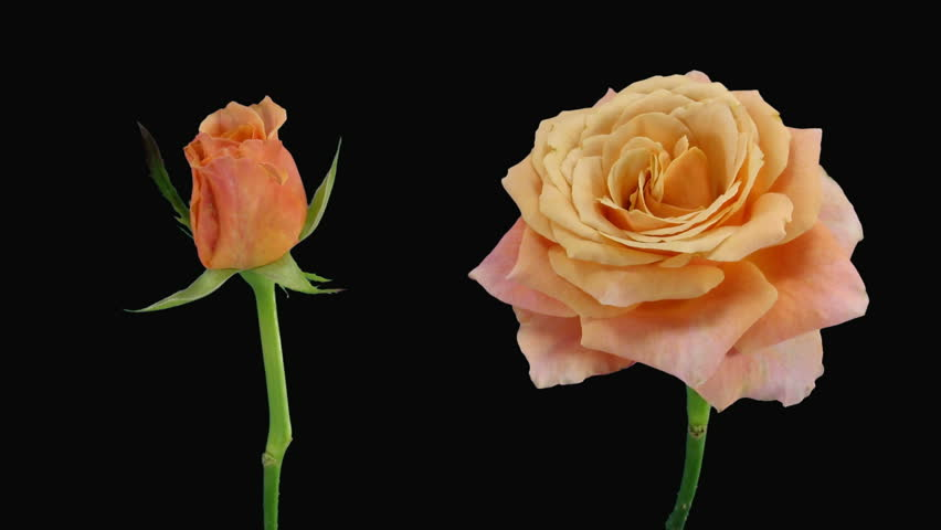 """Time-lapse of opening and dying """"Jazz"""" rose alpha matte 6d"""