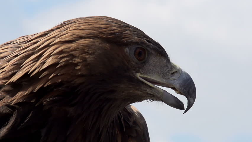 Golden Eagle Spread its Wings. Slow Motion at a rate of 480 fps. Golden eagle spread its wings and turned away from the camera on the background of cloudy sky