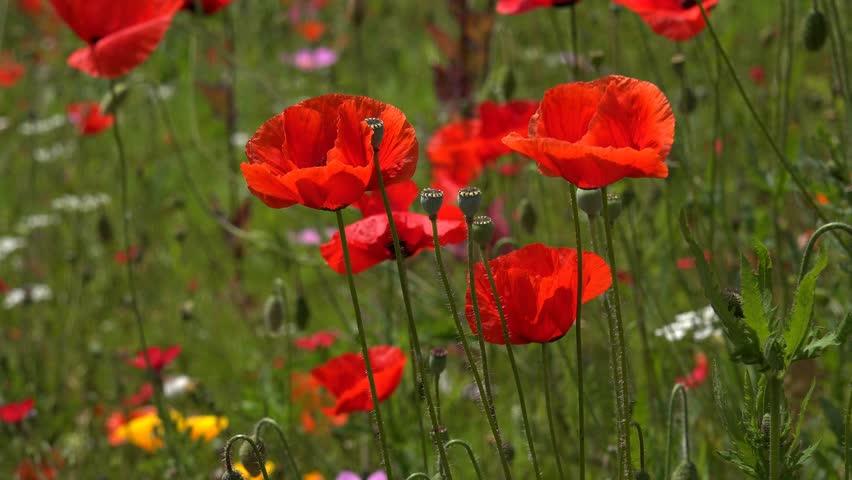 wild poppy flowers on - photo #40
