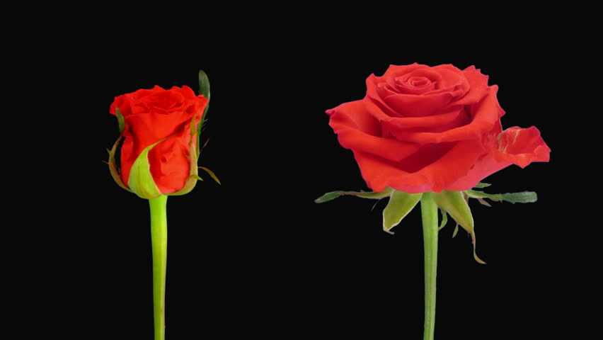 """Time-lapse of opening and dying """"Jaguar"""" rose alpha matte 4d"""