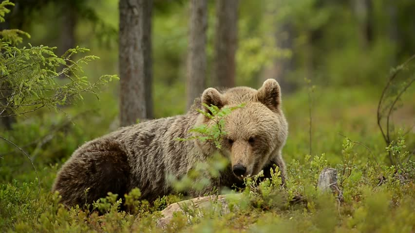 Brown bear resting in forest