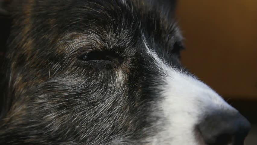 Close-up of a Welsh Corgi dog - HD stock video clip