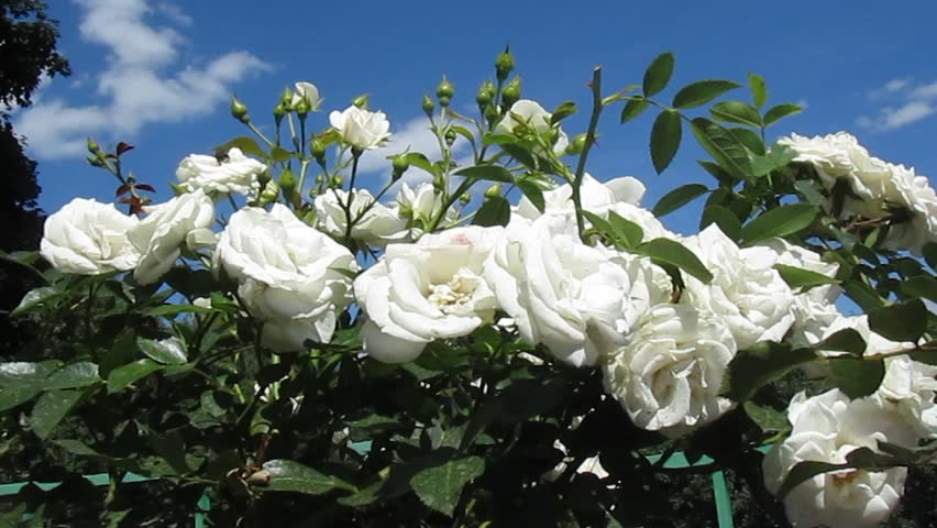 White Roses Flowers. Garden With Beautiful White Flowers ...