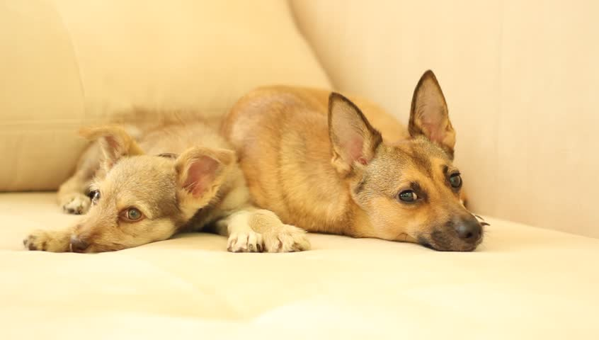 puppy on the couch - HD stock footage clip