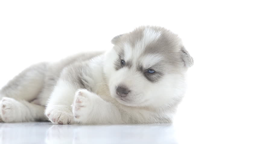 Puppy of siberian husky resting - HD stock video clip