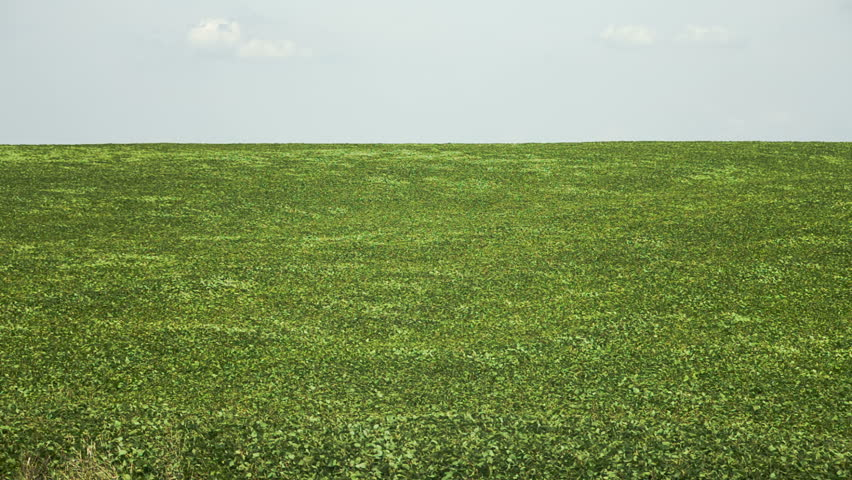 Field of green buckwheat. RAW video record. - HD stock video clip