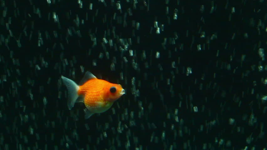 Red and white oranda goldfish against air bubble curtain for Goldfish pond depth